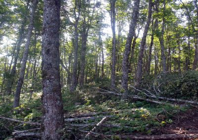 Hardwood Commercial Thinning